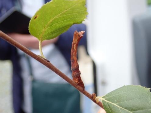 another bizaree twig-likecaterpillar