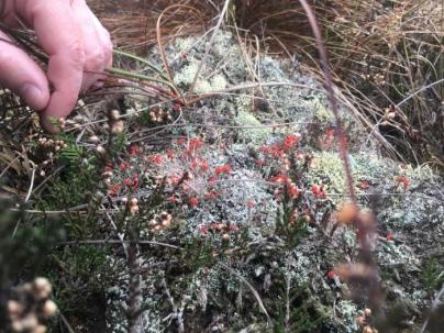 tiny but stunningly beautiful cigarette lichen