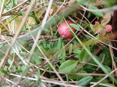 Bog cranberry