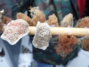 Tim grows the moth pupae on sticks, to release back to the bog